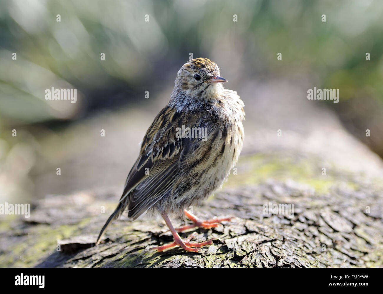 South Georgia pipit (Anthus antarcticus). It is endemic to South Georgia and is  the only song bird found  in Antarctica. - Stock Image