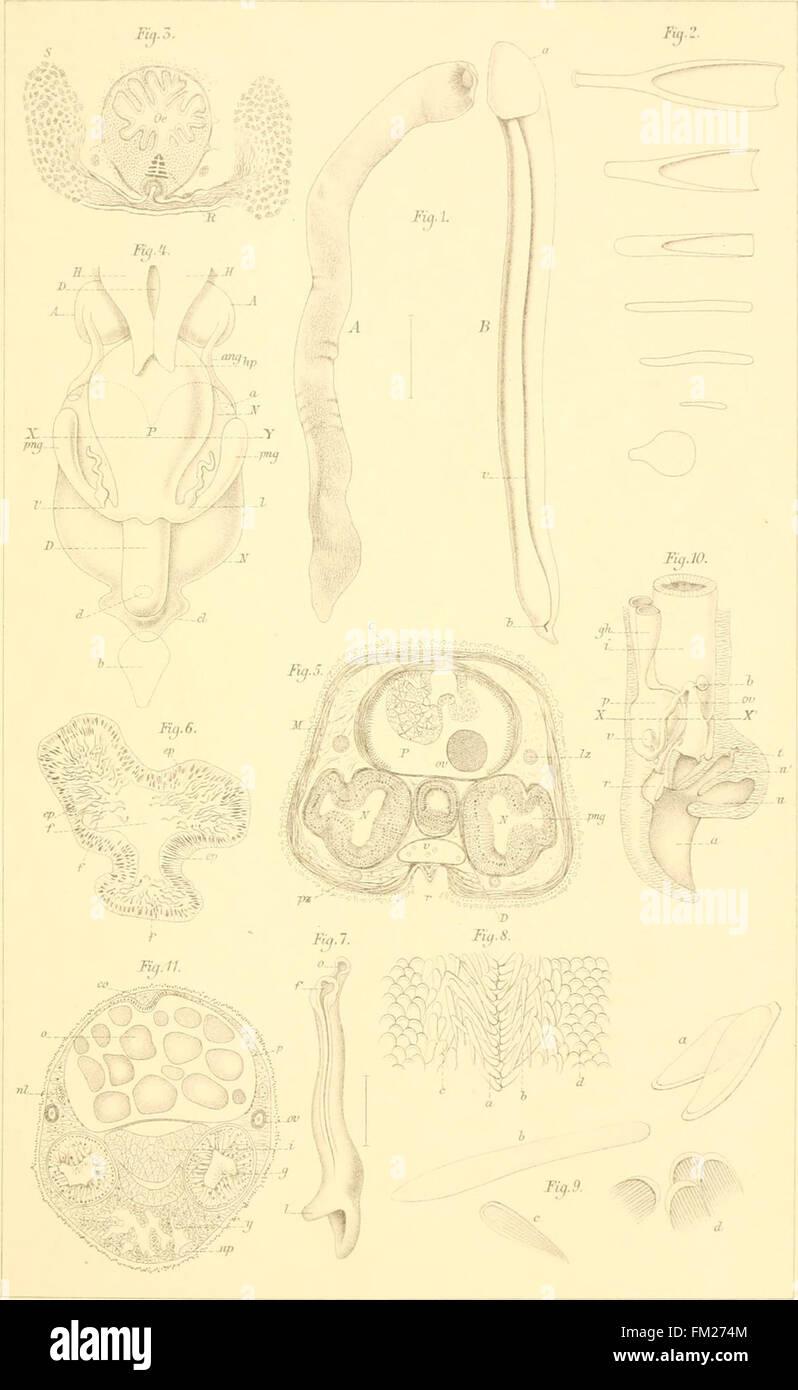 Dr. H. G. Bronn's Klassen und Ordnungen des Thier-Reichs - wissenschaftlich dargestellt in Wort und Bild (1892) Stock Photo
