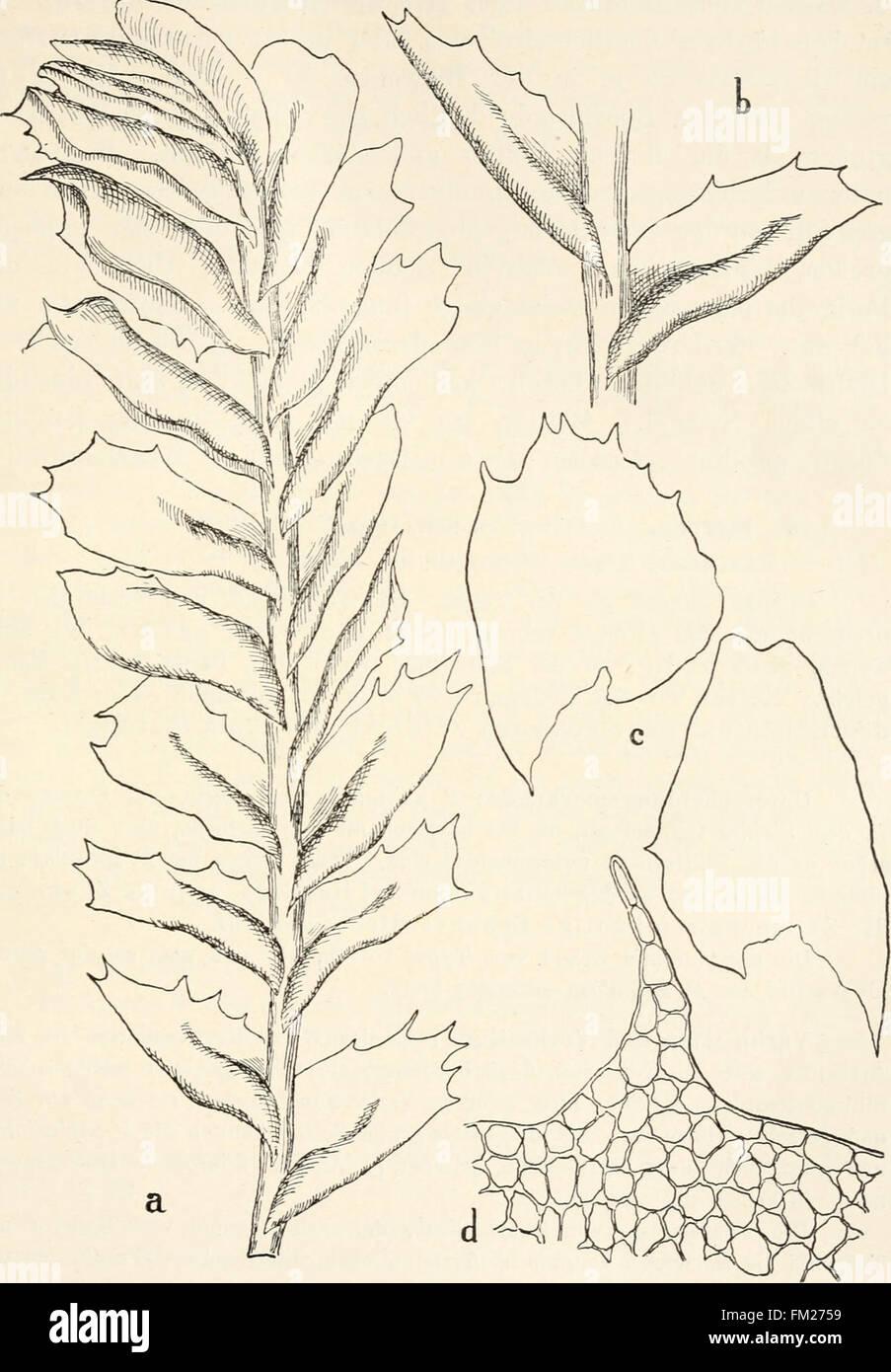 Dr. L. Rabenhorst's Kryptogamen-Flora von Deutschland, Oesterreich und der Schweiz (1906) Stock Photo