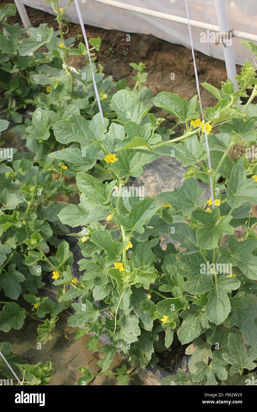 Cucumis Melo Sarda Melon Golden Yellow Melon On Vine With Tendrils