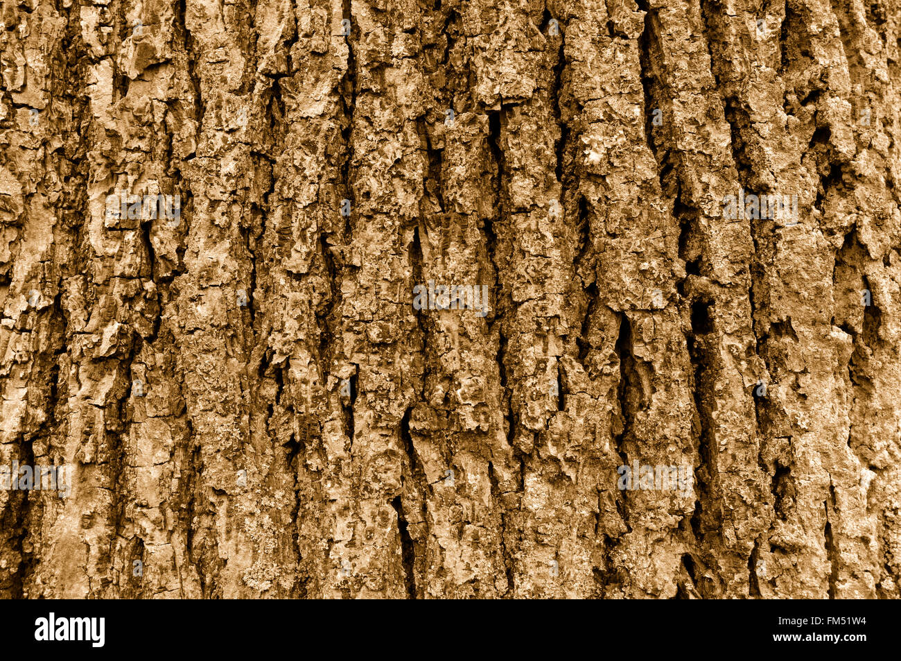 Close up of coarse Himalayan cedar  tree bark in sepia tone - Stock Image