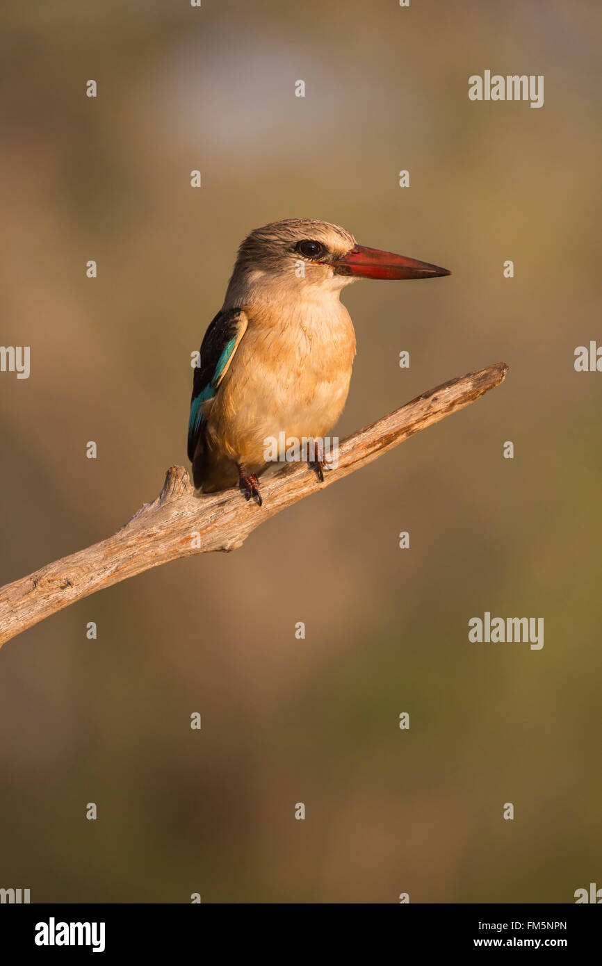 Brown-hooded kingfisher (Halcyon albiventris), Zimanga private game reserve, KwaZulu-Natal, South Africa - Stock Image