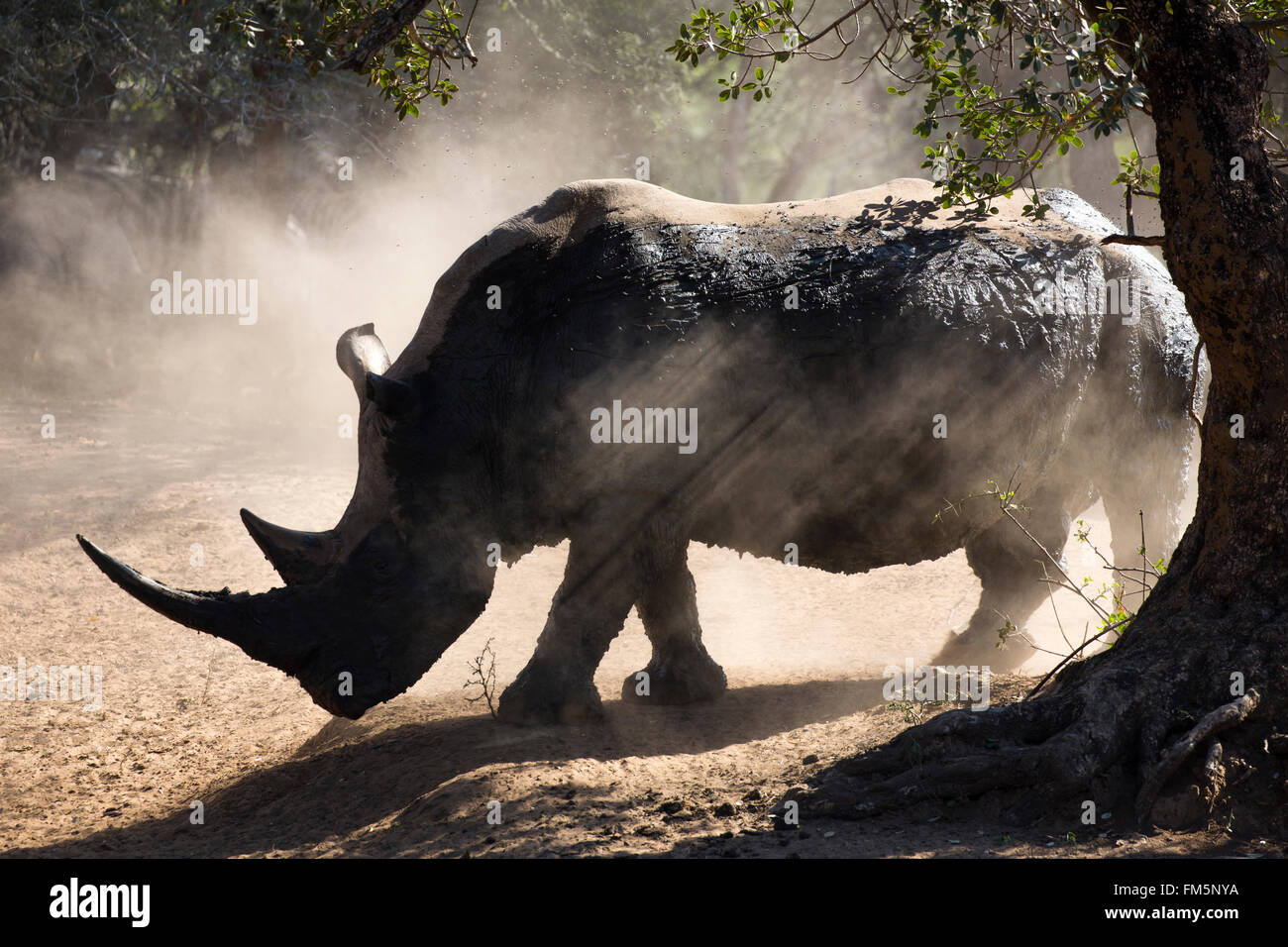 White rhino bull (Ceratotherium simum), backlit with dust, KwaZulu-Natal, South Africa Stock Photo