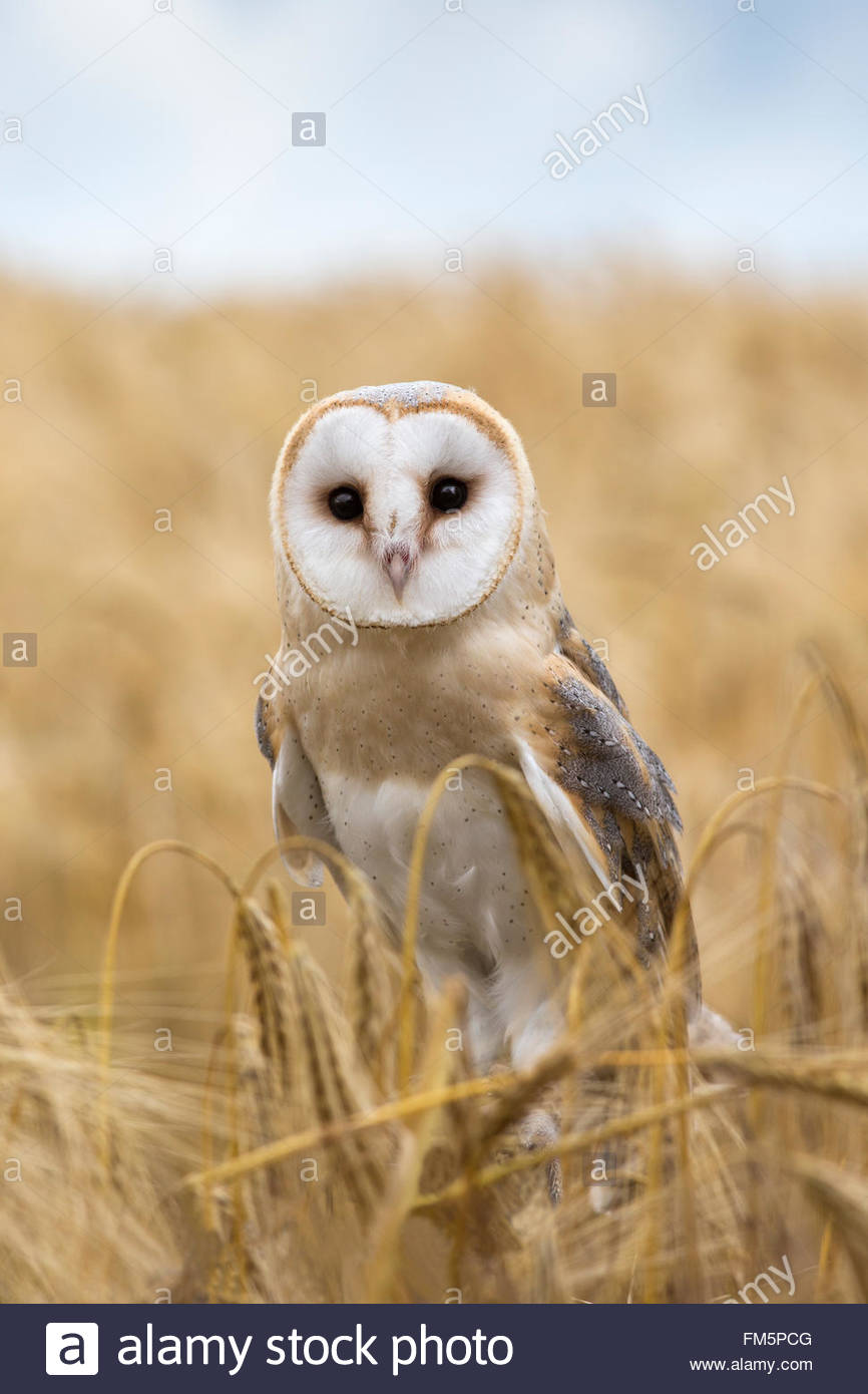 Barn owl (Tyto alba), captive, UK, Cumbria - Stock Image