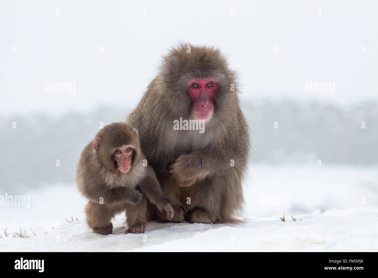 Snow monkey (Macaca fuscata)  with its baby in the snow , Japanese macaque, captive, Highland Wildlife Park, Kingussie, Stock Photo