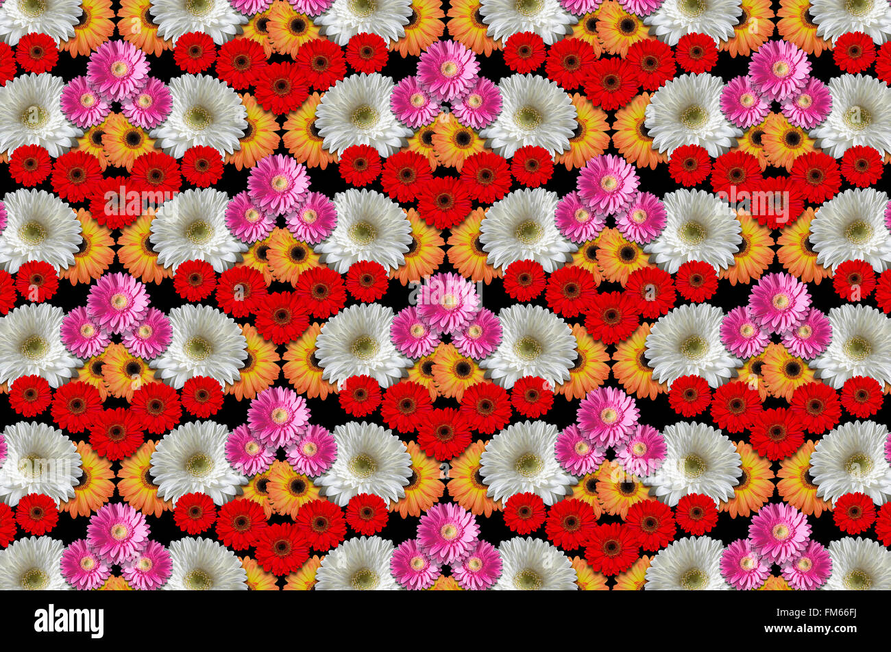 Multi colored flowers large daisies on a black background Stock ...