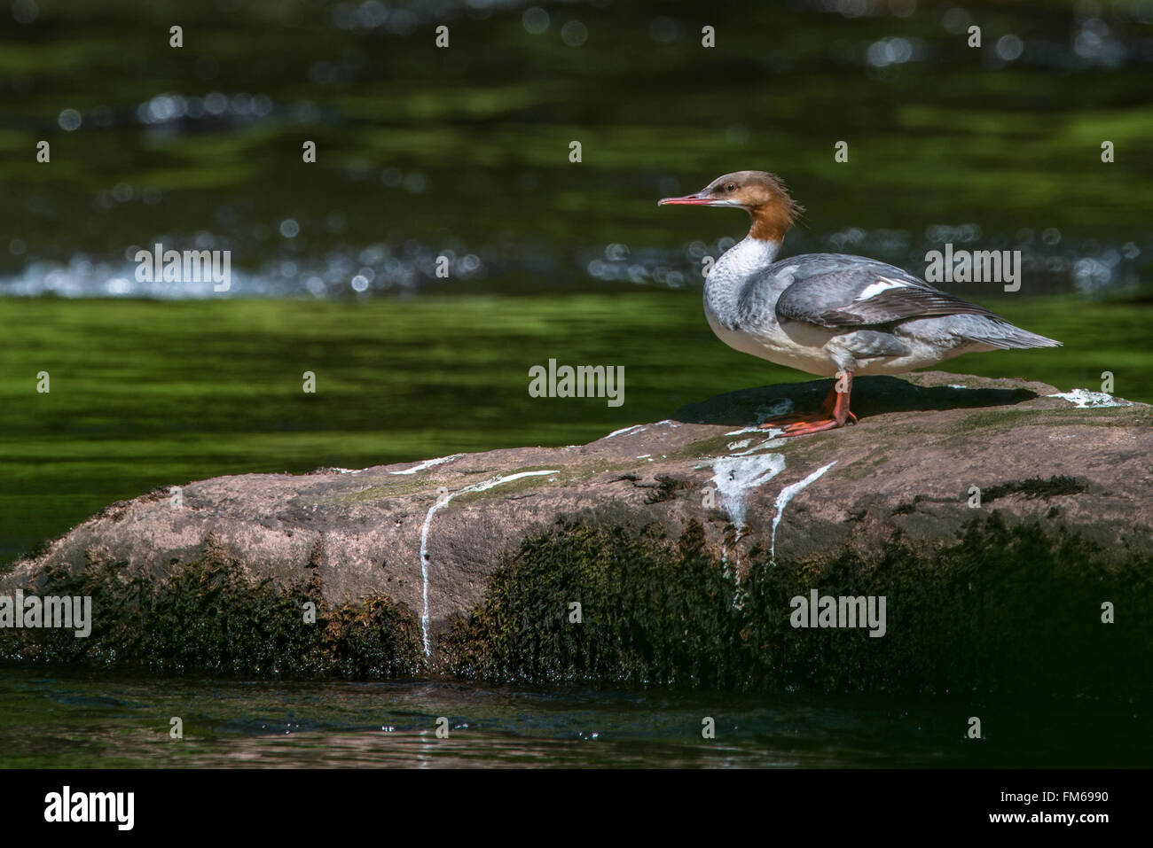 Female Goosander {Mergus merganser} standing on a rock in the river Usk in the Brecon Beacons. The glistening water - Stock Image