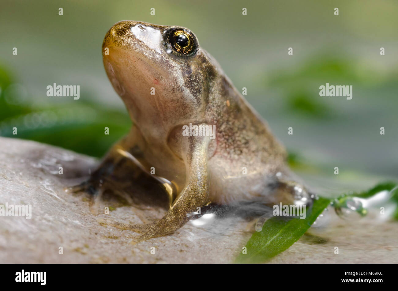 Froglet of Common Frog  Rana temporaria - Stock Image