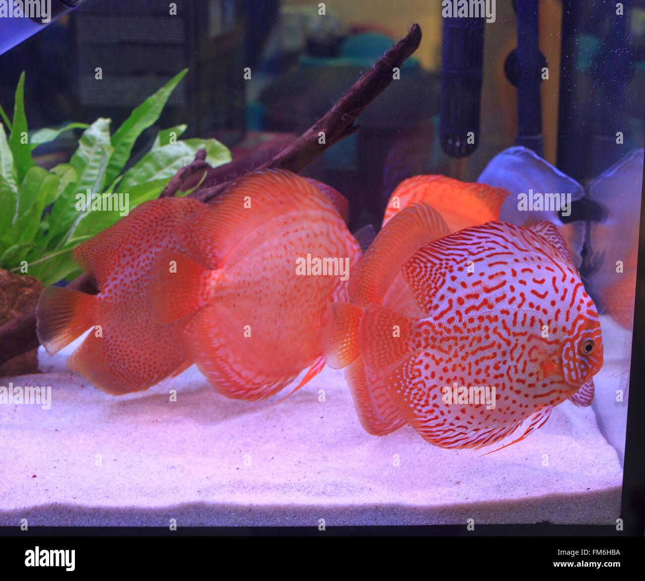 Scalar Fish Stock Photos & Scalar Fish Stock Images - Alamy