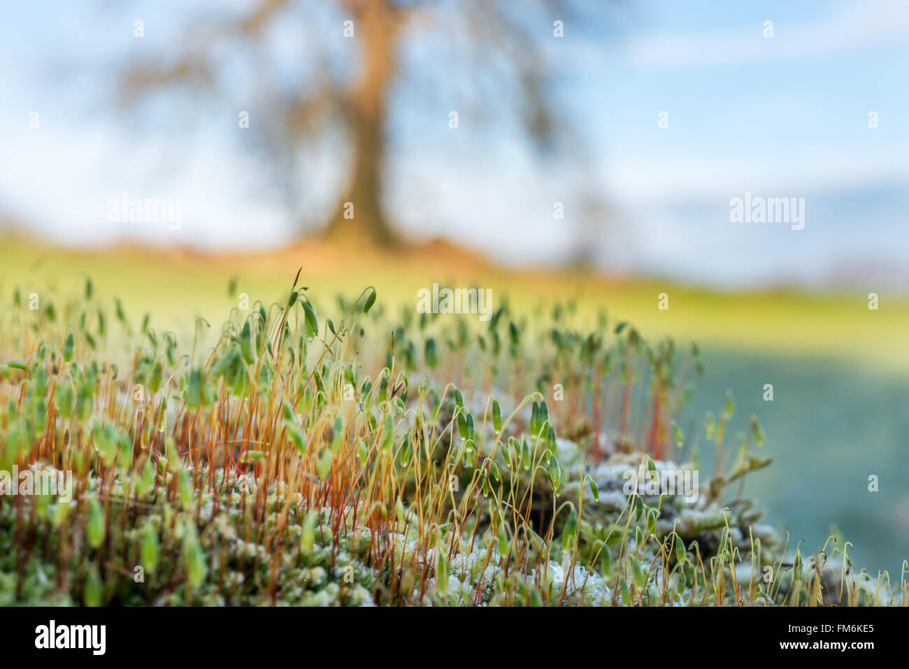 The fruiting bodies of a moss on a fallen tree, with a living tree in the background. Brecon Beacons, February - Stock Image