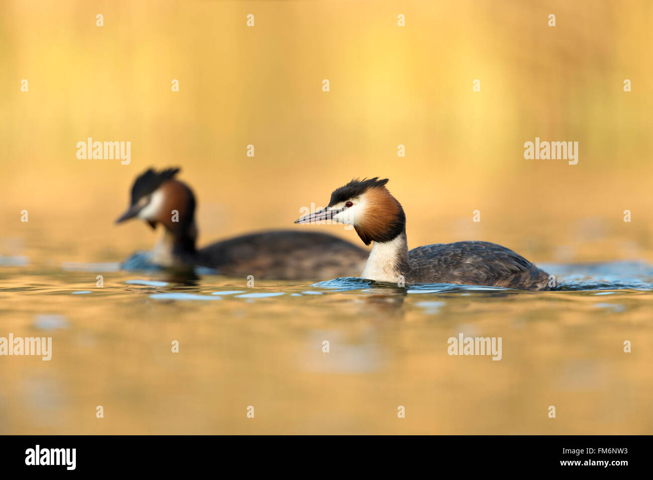 Great Crested Grebes /  Haubentaucher ( Podiceps cristatus ), pair, swimming next to each other, warm atmospheric - Stock Image