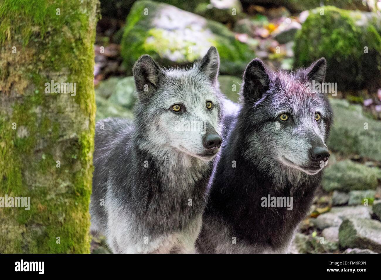 France, Ariege, Orlu, home of wolves, wolf Poland - Stock Image