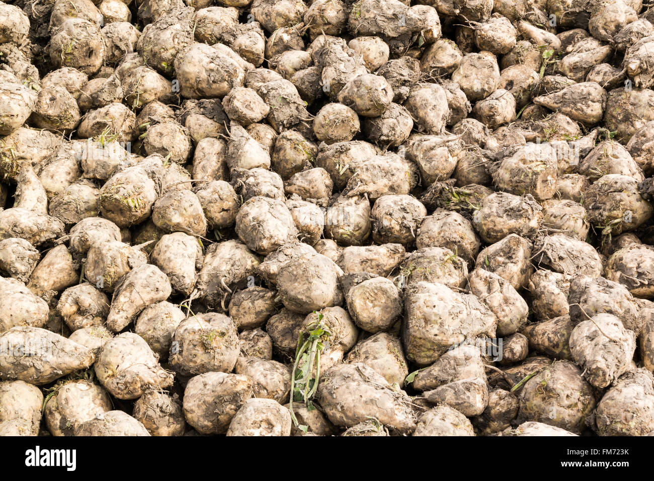 Pile of stacked sugar beet roots after harvest in Friesland, the Netherlands - Stock Image