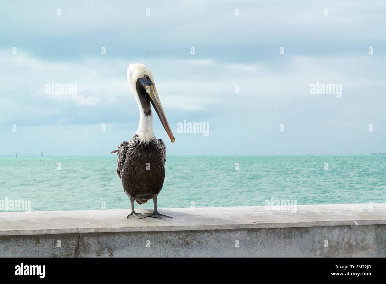 Portrait of brown pelican  on White Street Fishing Pier in Key West, Florida Keys, USA Stock Photo