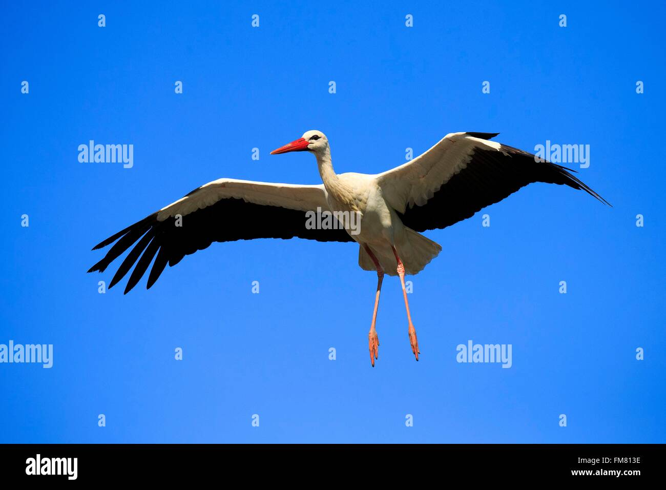France, Haut Rhin, Hunawihr, White stork (Ciconia ciconia) in the center for reintroduction of storks in Alsace Stock Photo