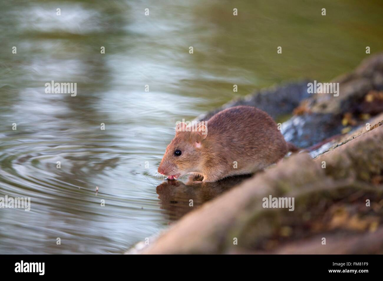 France, Bas Rhin, Selestat, Brown rat, also referred to as common rat, street rat, sewer rat, Hanover rat, Norway - Stock Image