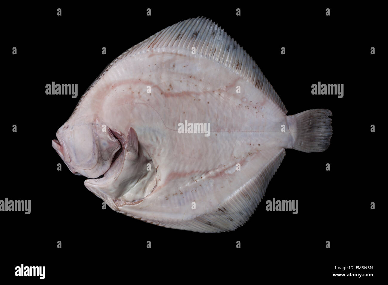 Whole fresh raw disemboweled flatfish bottom side, caught in the Alboran Sea in Spain, isolated on black background. - Stock Image
