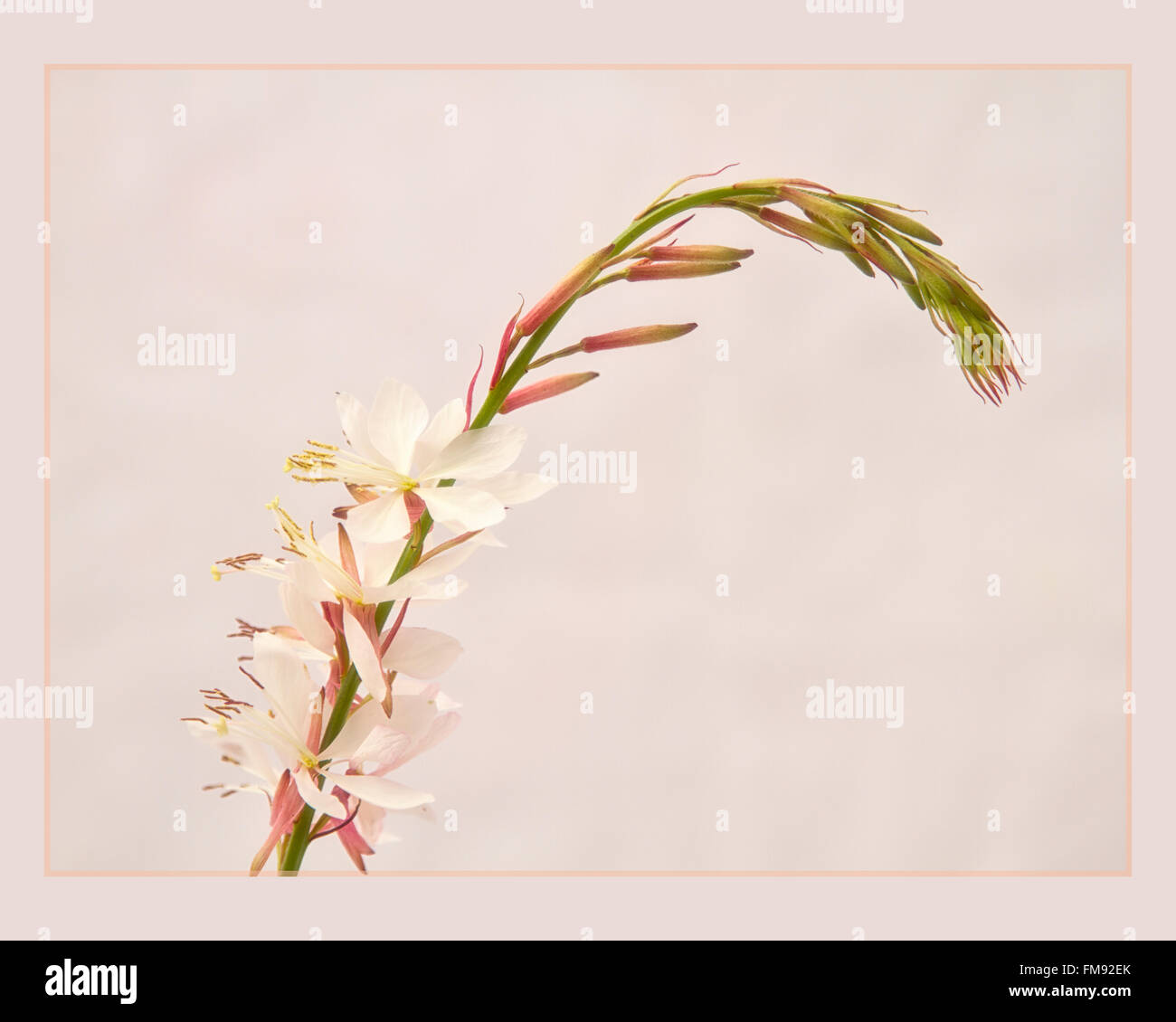 Gaura 'The Bride' 2 - Stock Image