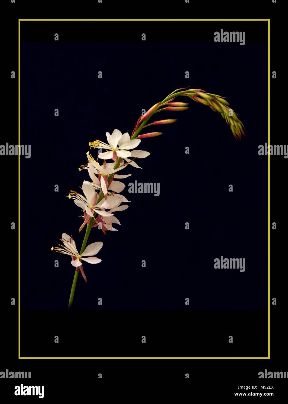 Gaura 'The Bride' - Stock Image