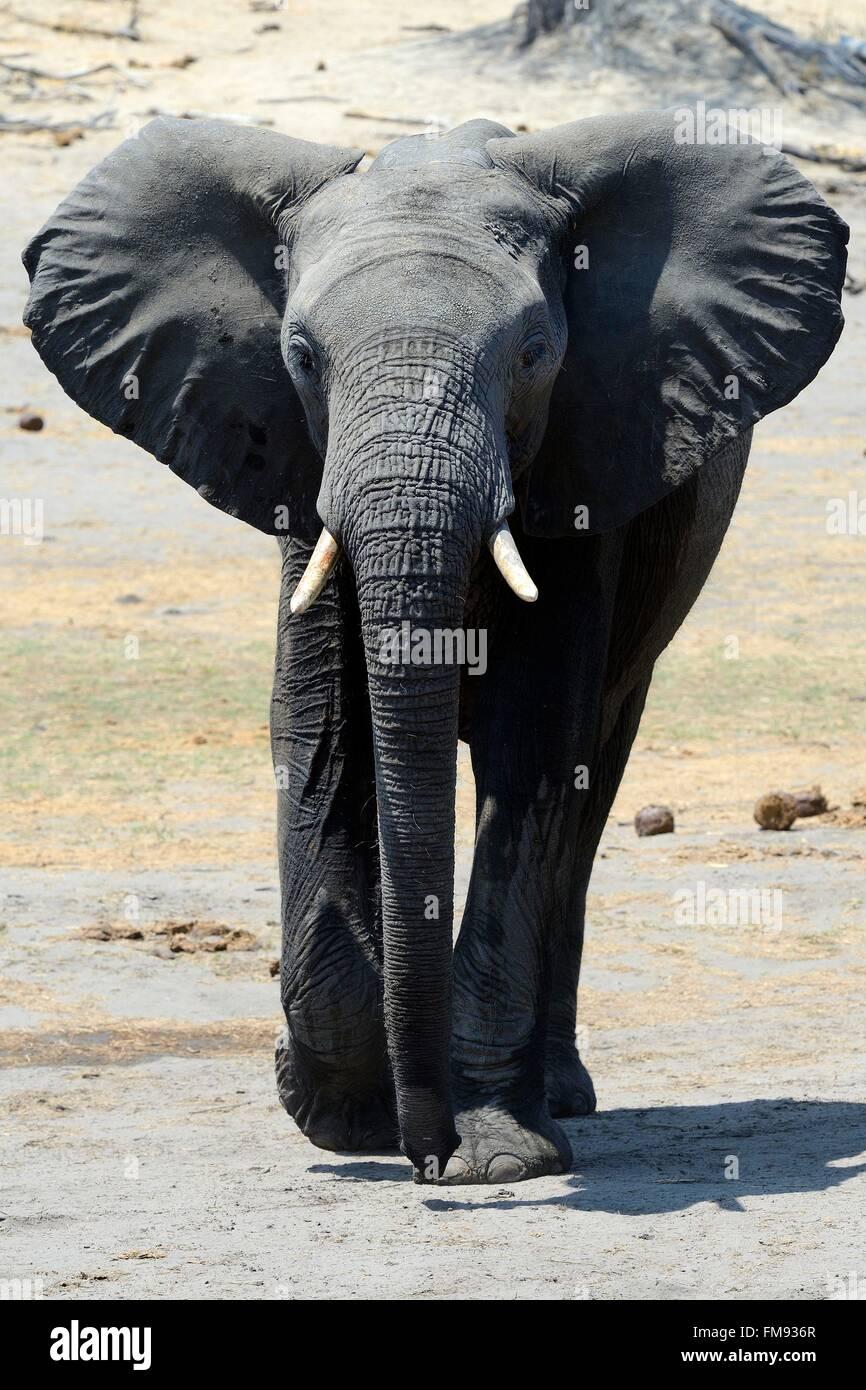 Zimbabwe, Matabeleland North Province, Hwange National Park, wild african elephant (Loxodonta africana) Stock Photo