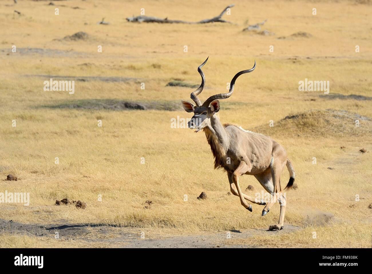 Zimbabwe, Matabeleland North Province, Hwange National Park, greater kudu (Tragelaphus strepsiceros) running Stock Photo