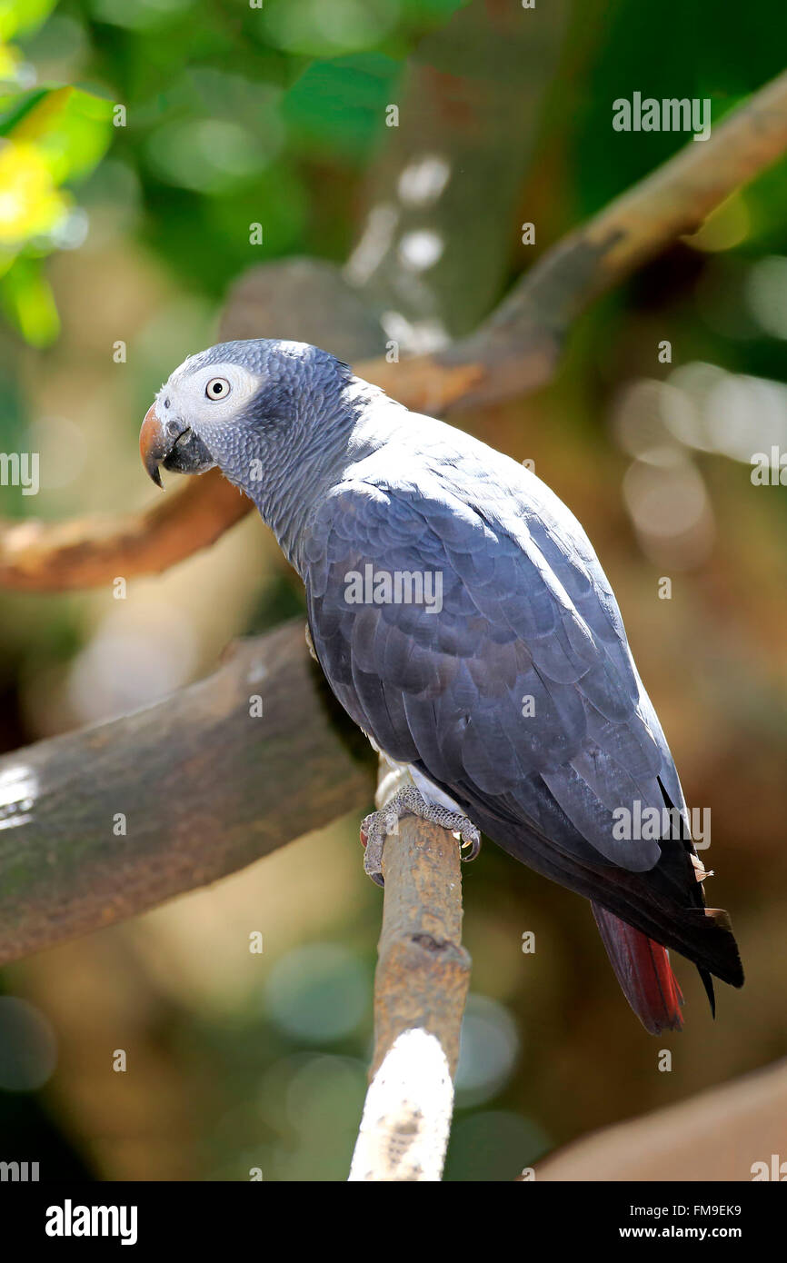 Grey Parrot, Africa / (Psittacus erithacus timneh) - Stock Image