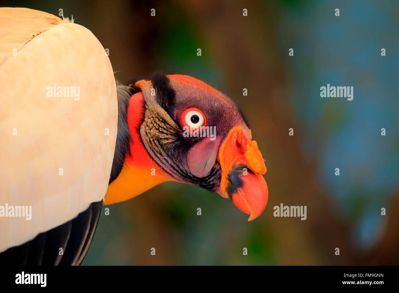 King Vulture, South America / (Sarcoramphus papa) - Stock Image
