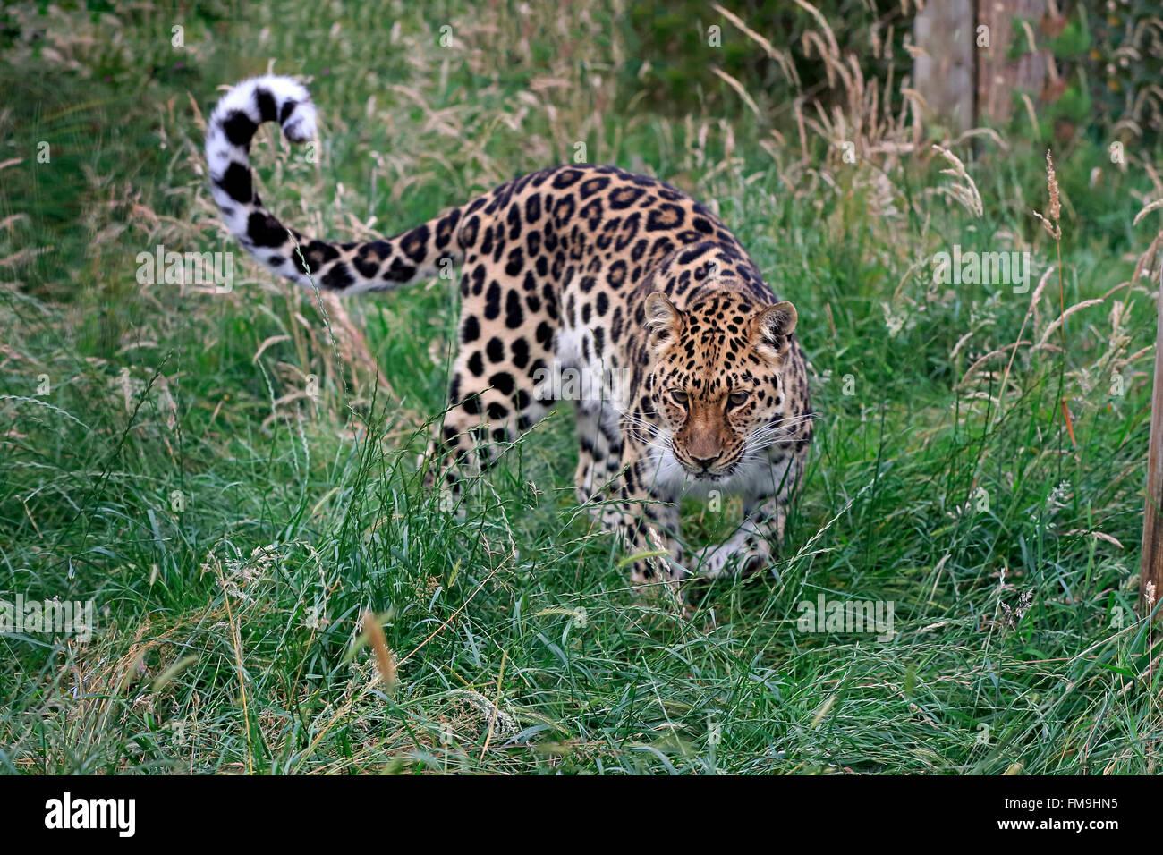 Amur leopard, adult stalking, Asia / (Panthera pardus orientalis) - Stock Image
