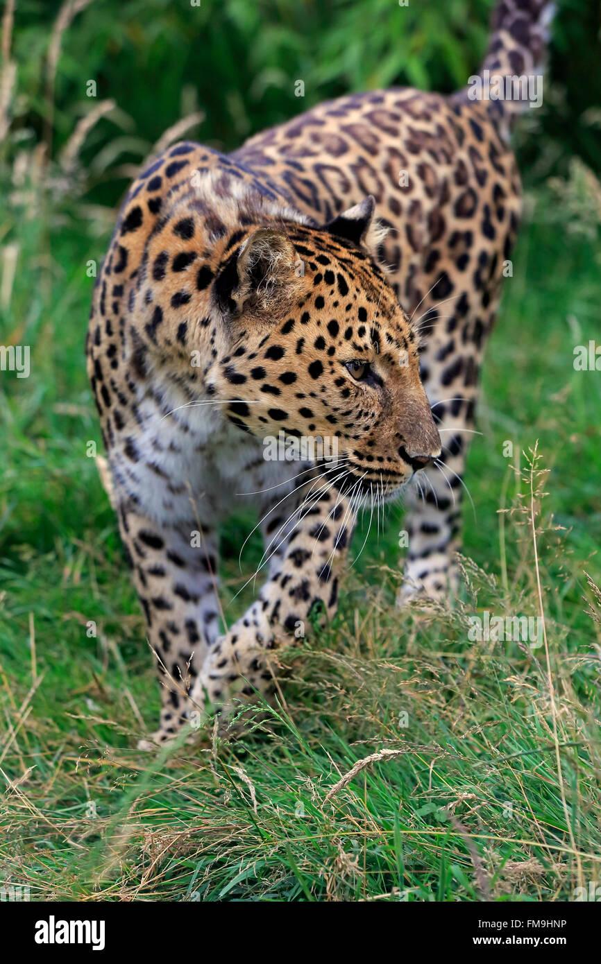 Amur leopard, adult, Asia / (Panthera pardus orientalis) - Stock Image