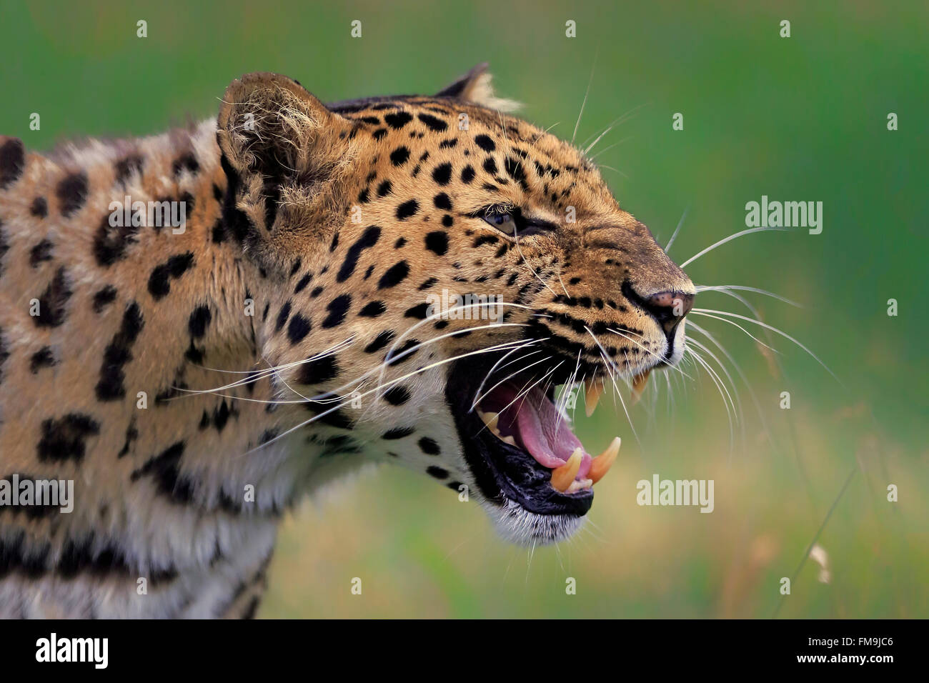 Amur leopard, Asia / (Panthera pardus orientalis) - Stock Image
