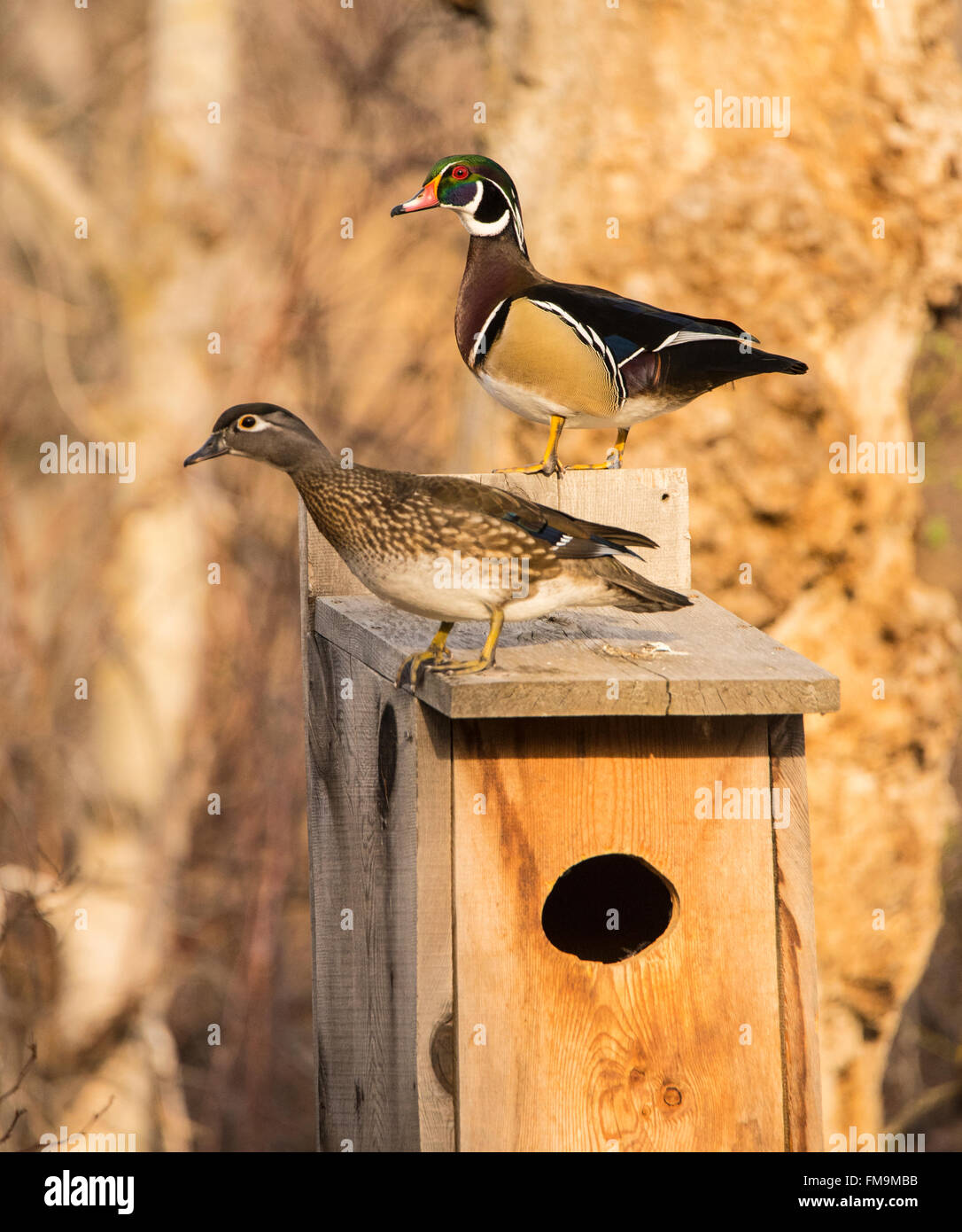 Wildlife male female wood ducks perched on a wood duck nest box wildlife male female wood ducks perched on a wood duck nest box usa publicscrutiny Choice Image