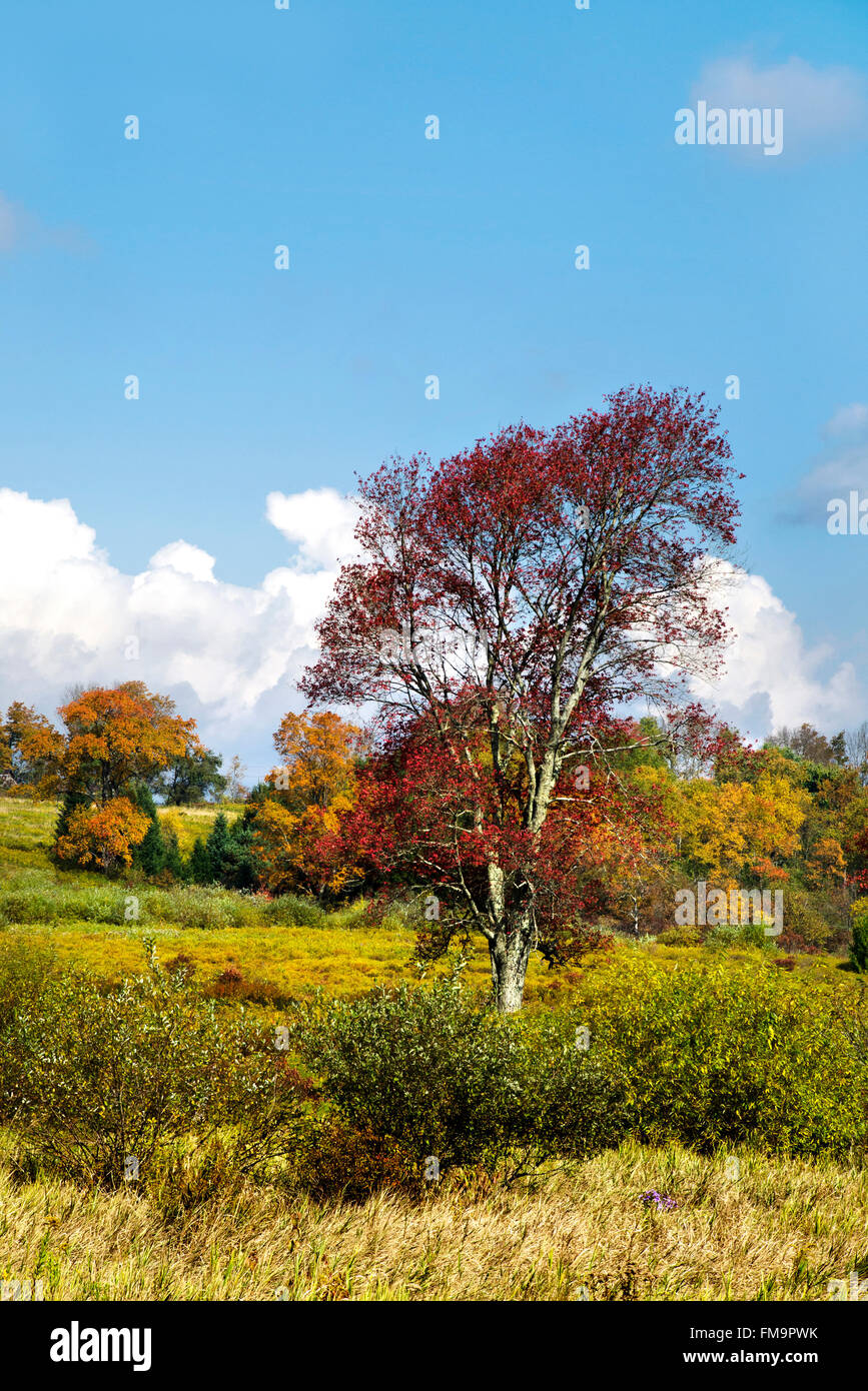 Scenic fall landscape with red maple tree in country field Smithville, Chenango County upstate New York, USA. - Stock Image
