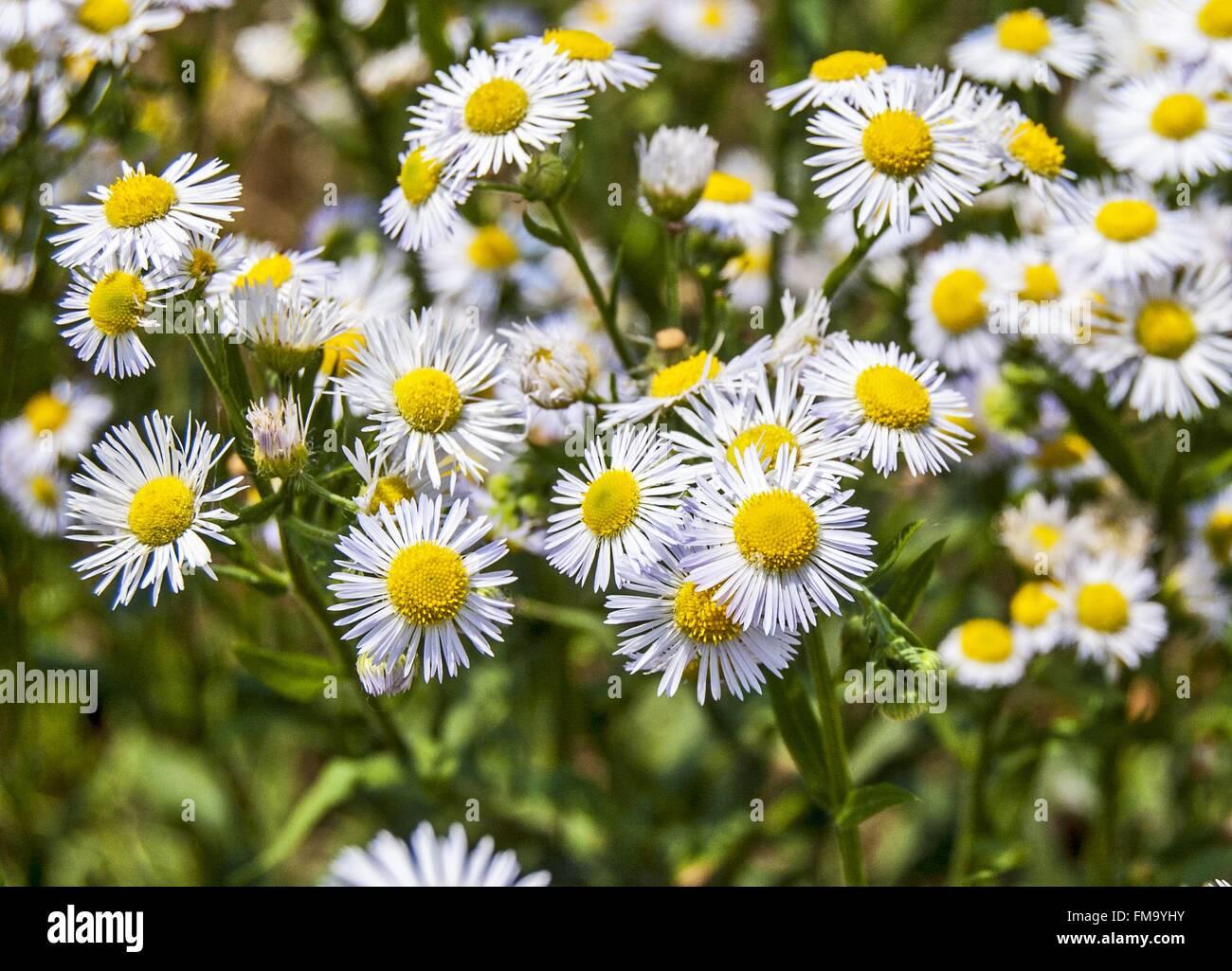 Flowers wild daisy growing in a field stock photo 98564199 alamy flowers wild daisy growing in a field izmirmasajfo