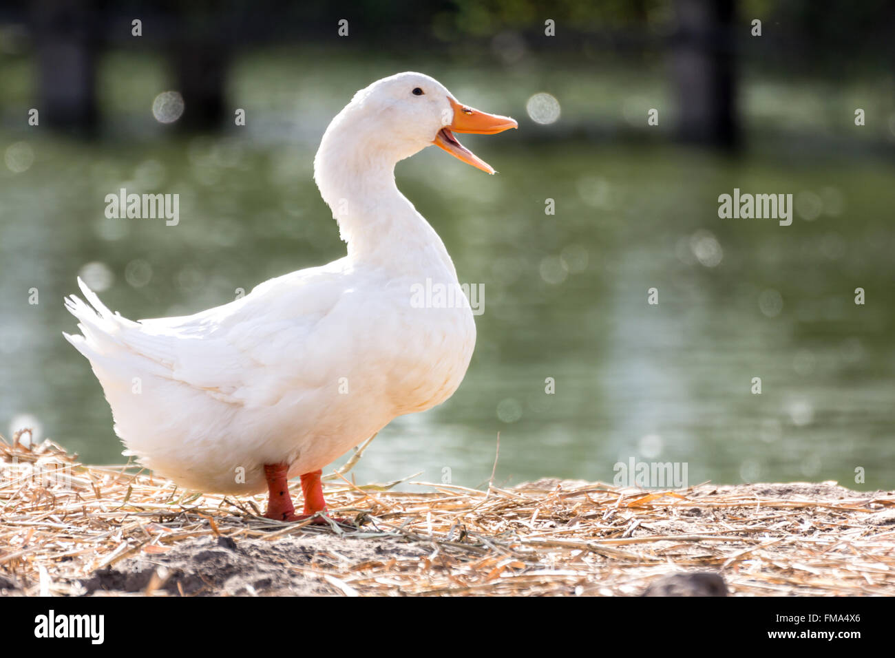 White duck stand next to a pond or lake with bokeh background, animal life and agriculture concept picture. - Stock Image
