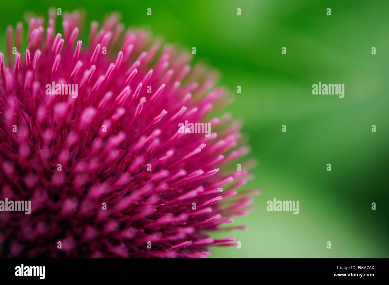 Close up of deep burgundy flowers of a Cirsium atropurpureum flowering in a summer garden. - Stock Image
