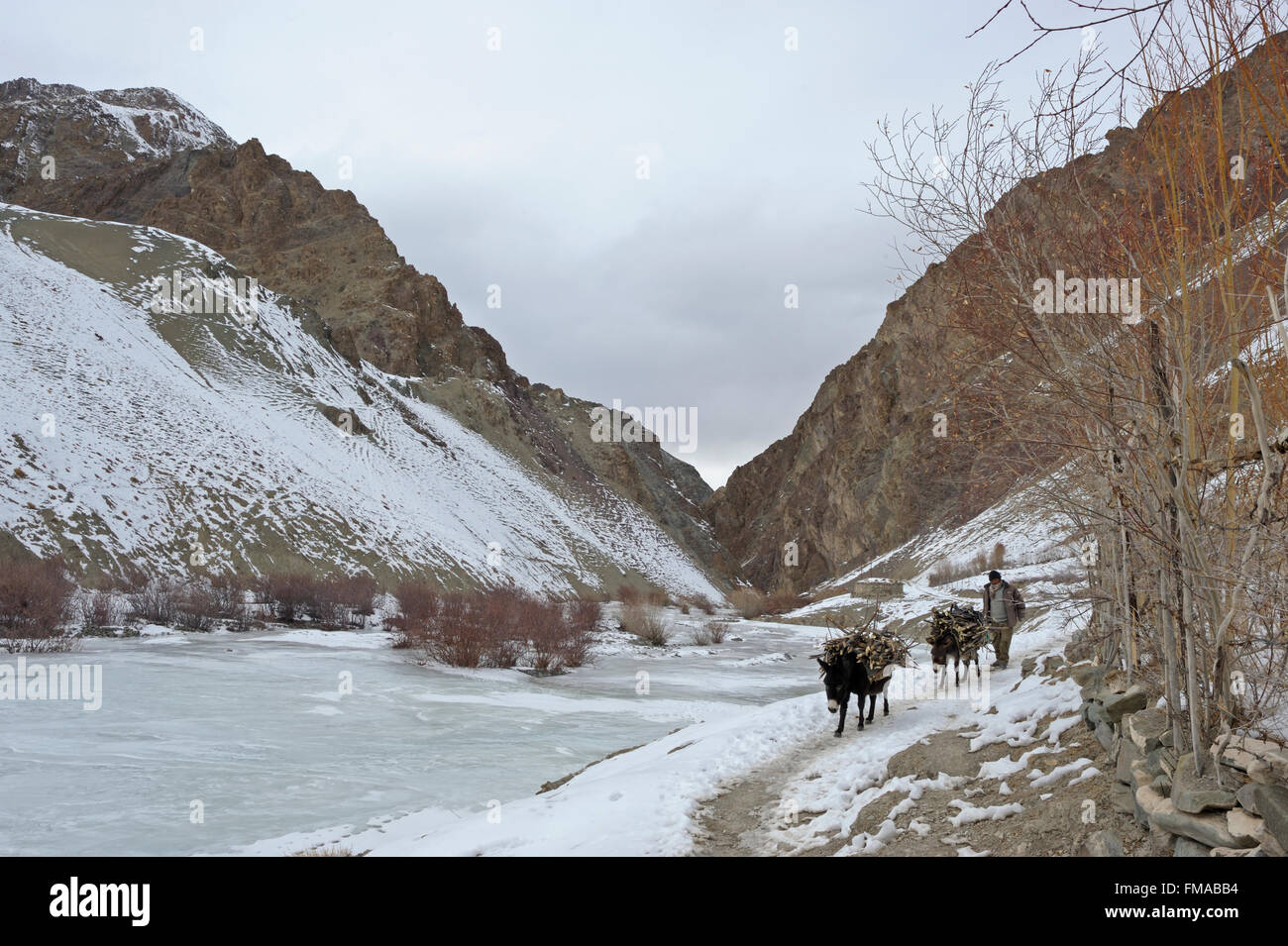 Mountain ponies, beast of burden,  carrying load and walking across a frozen stream in the treeless trans-himalayan - Stock Image