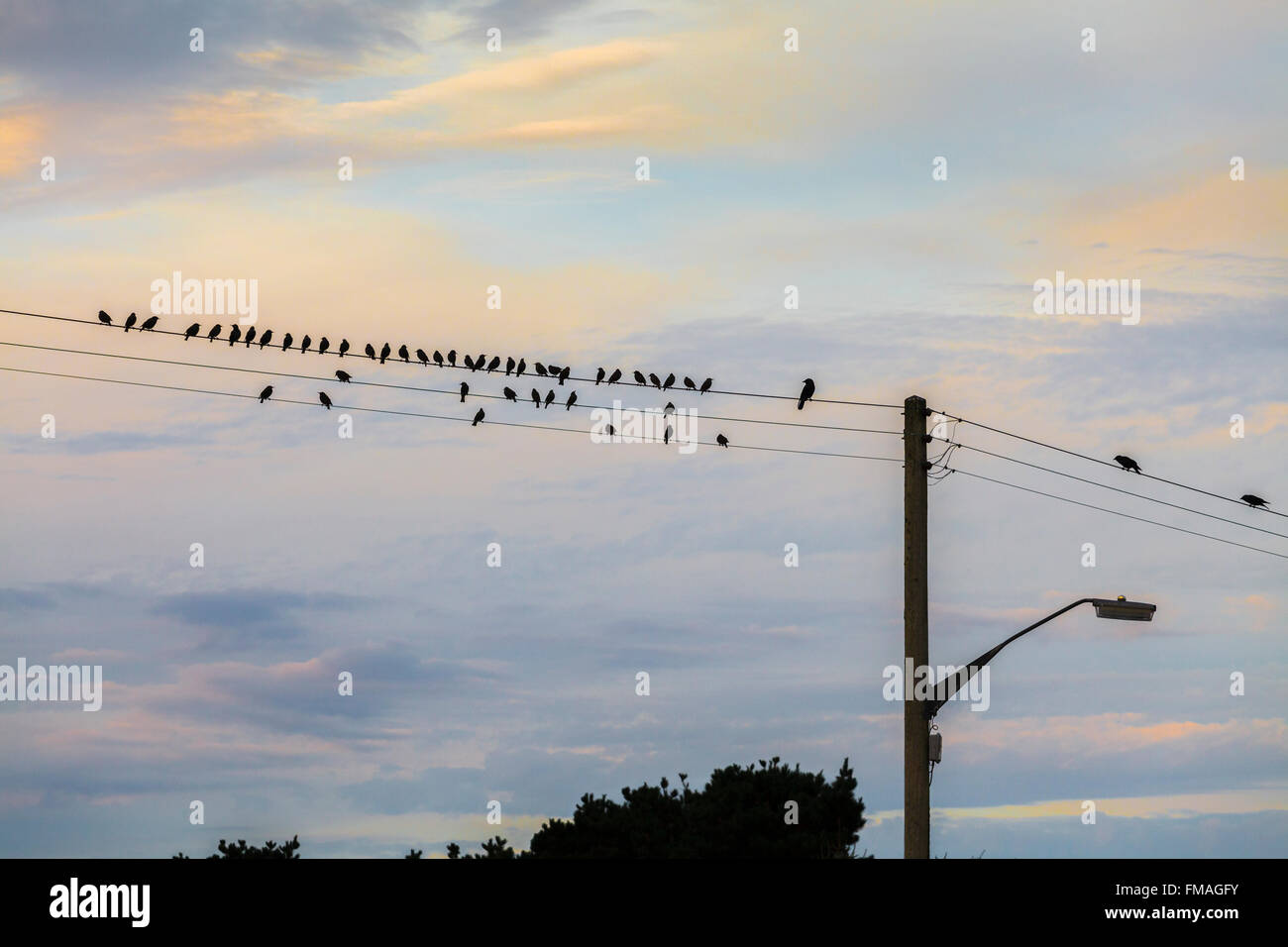 Starlings resting at sunrise. - Stock Image
