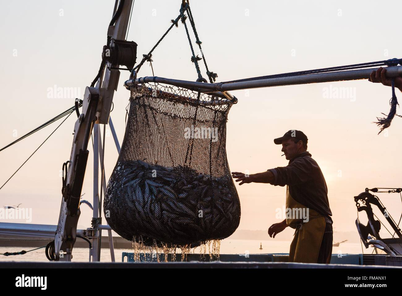 France, Finistere, Douarnenez, man guiding a fish net full to empty in a tray - Stock Image