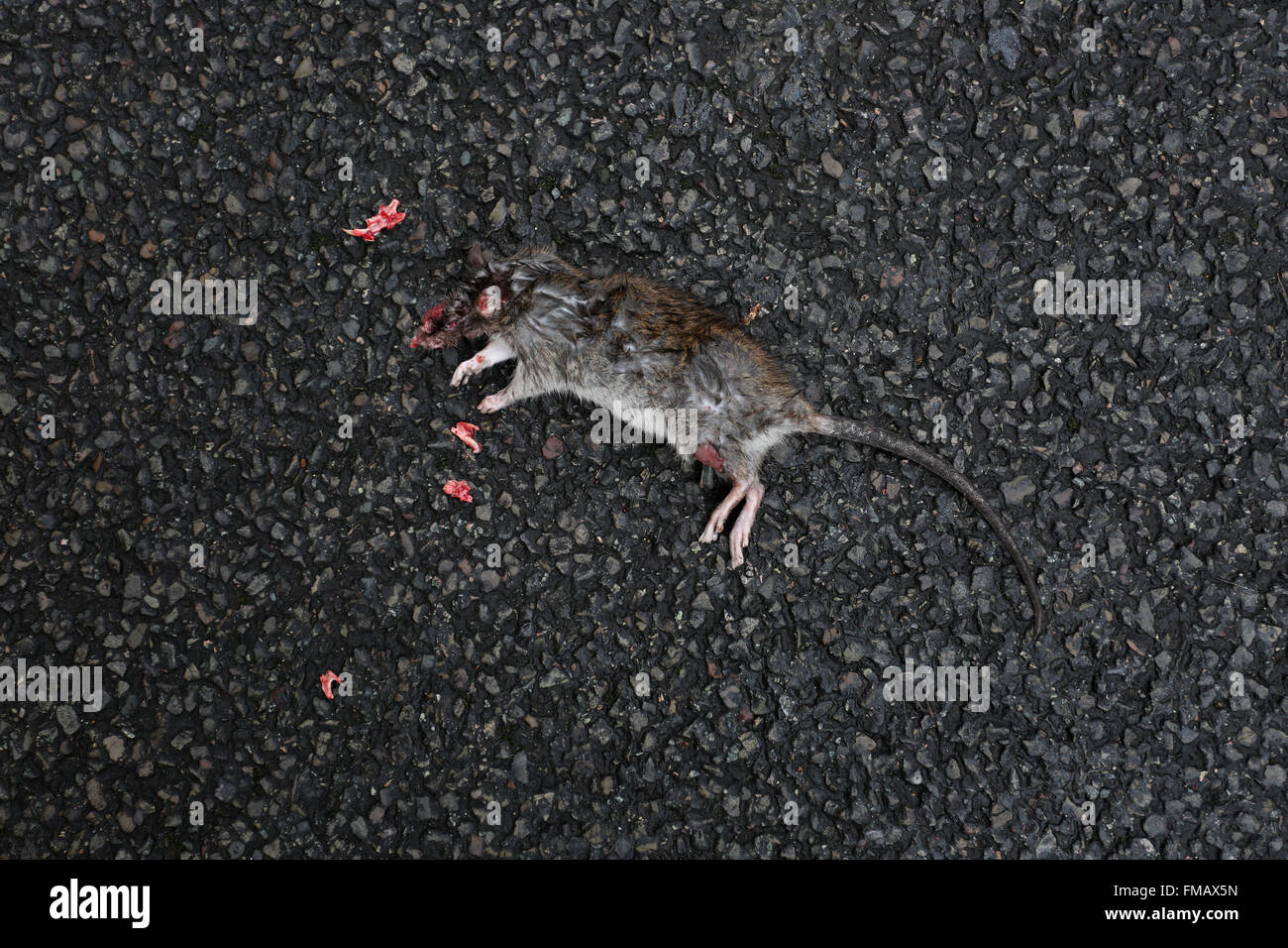 Dead rat on the street in Cheval Place, London, UK. - Stock Image
