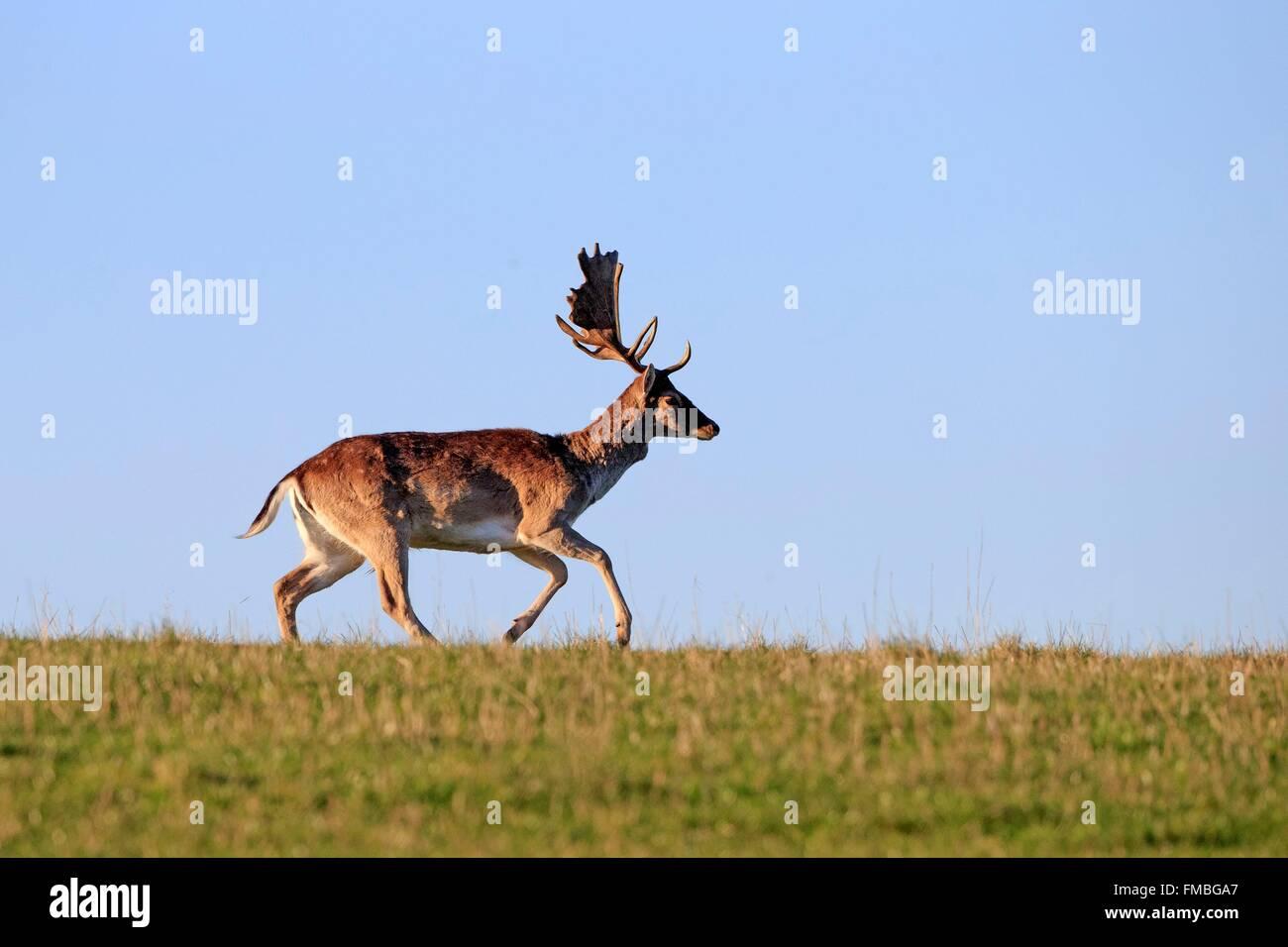 France, Haute Saone, Private park, Fallow Deer (Dama dama), buck, male - Stock Image