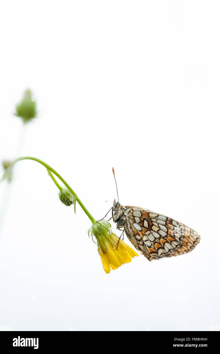 France, Isere, butterfly, (Nymphalidae) - Stock Image