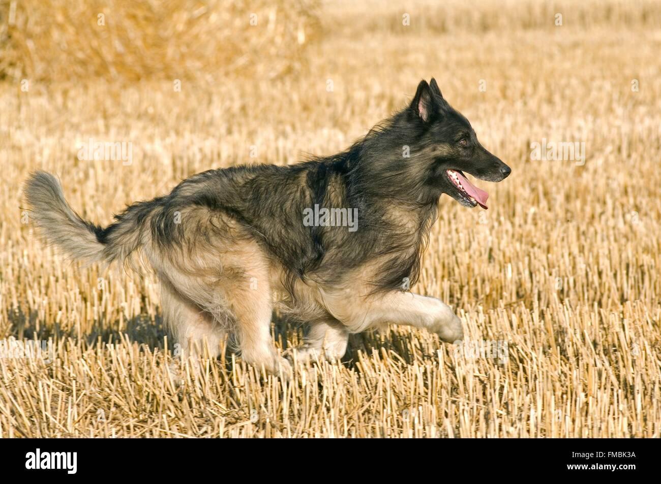 Tervuren (Canis familiaris) - Stock Image