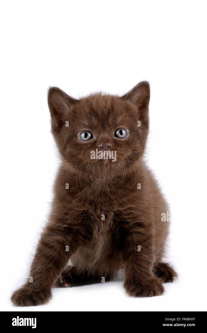 Cat (Felis silvestris catus), British Shorthair Stock Photo