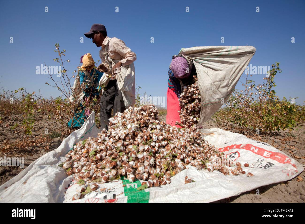 India, Gujarat state, Little Rann of Kutch, workers harvesting cotton (Gossypium sp.) - Stock Image