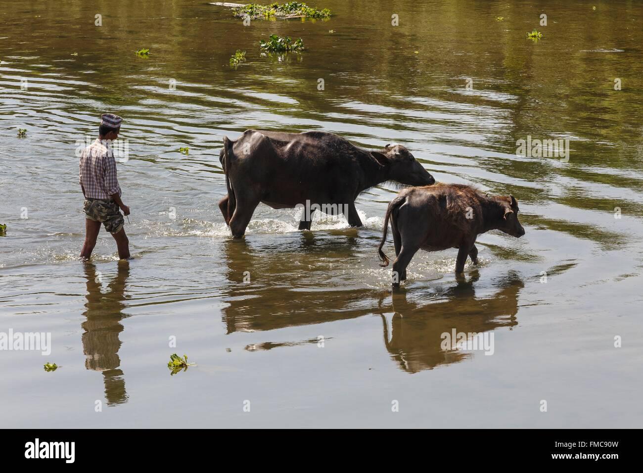 Nepal, Narayani zone, Sauraha, two buffalos and a man in the Budhi Rapti river - Stock Image