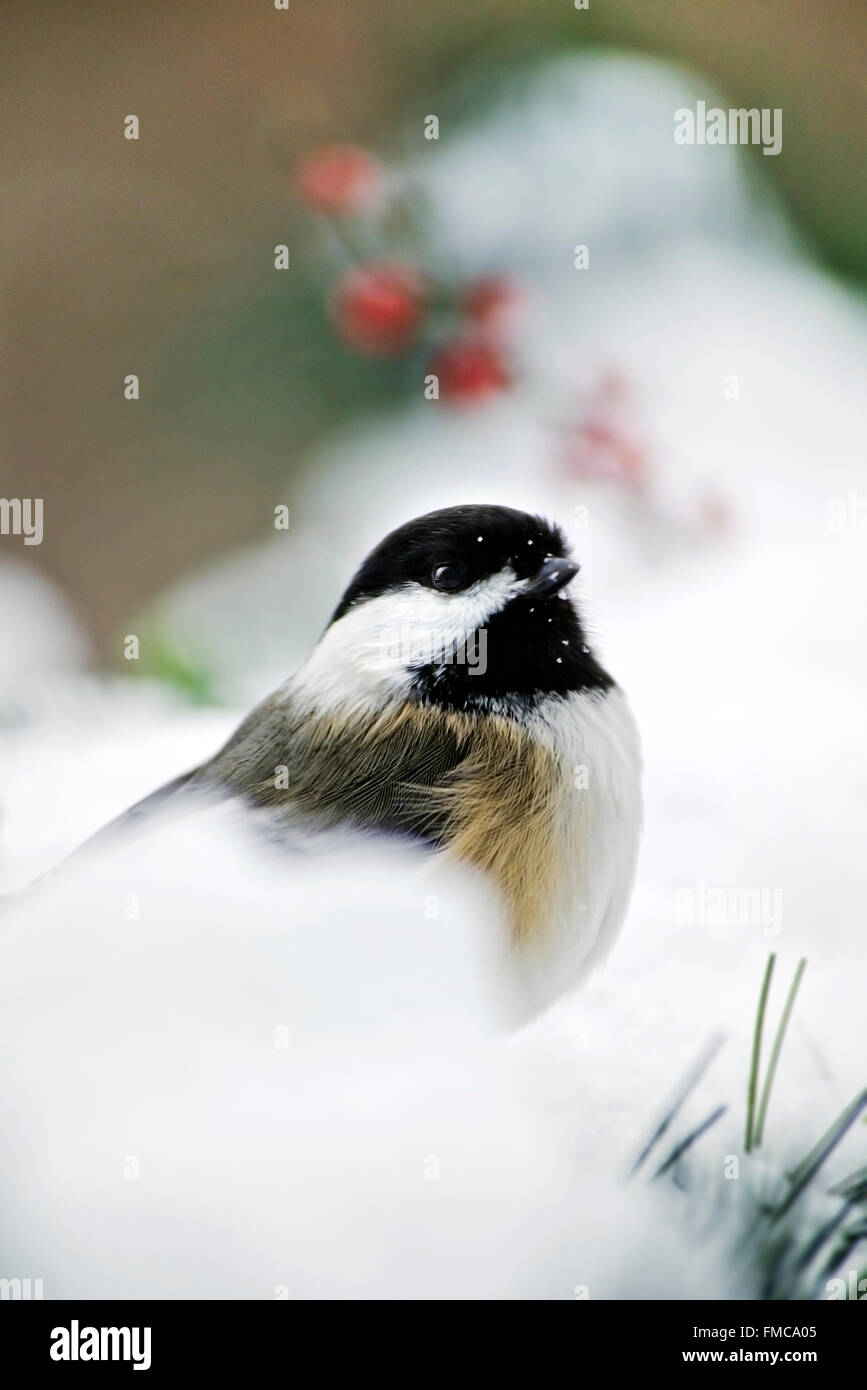 Black capped chickadee perched on snow in winter, shallow depth of field. - Stock Image