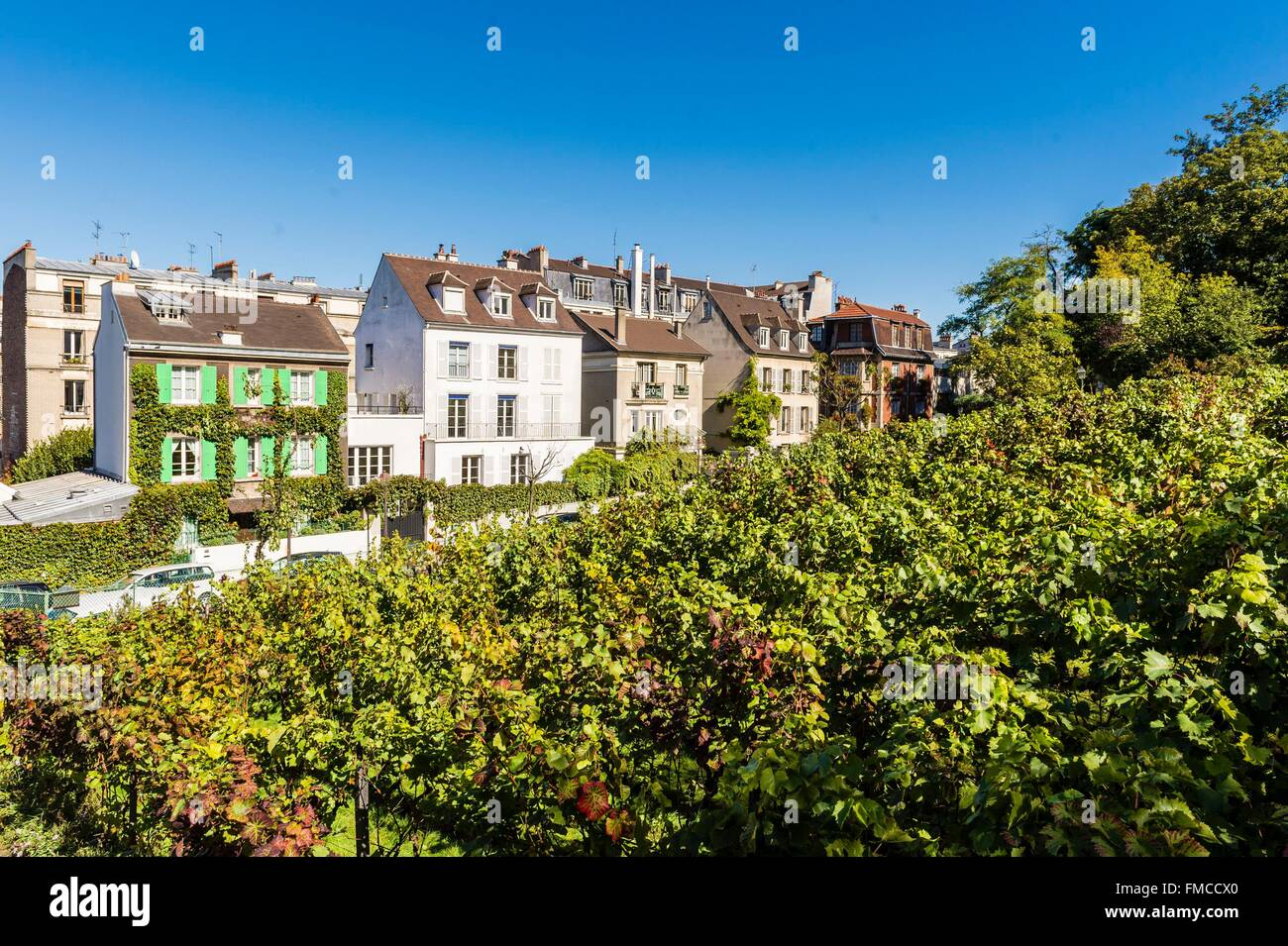 France, Paris, the vine of Montmartre, whose official name is the Clos Montmartre - Stock Image