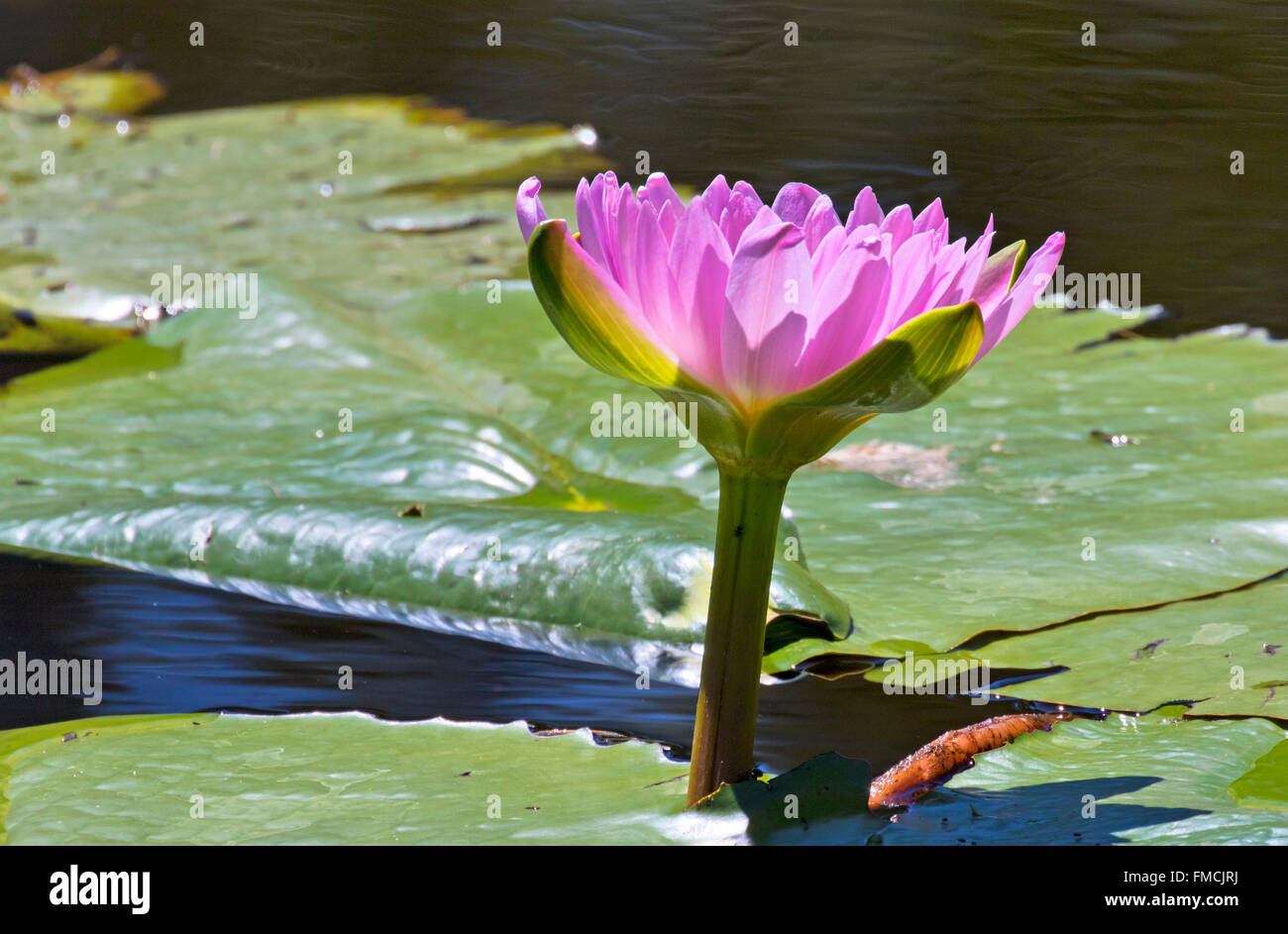 Red Lily Pads Stock Photos Red Lily Pads Stock Images Alamy