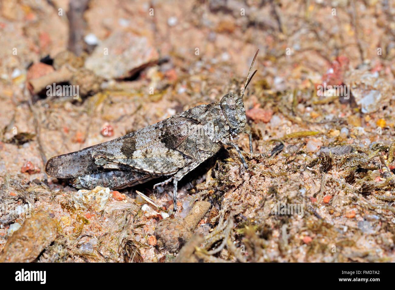 Blue-winged grasshopper (Oedipoda caerulescens) merging into arid environment - Stock Image