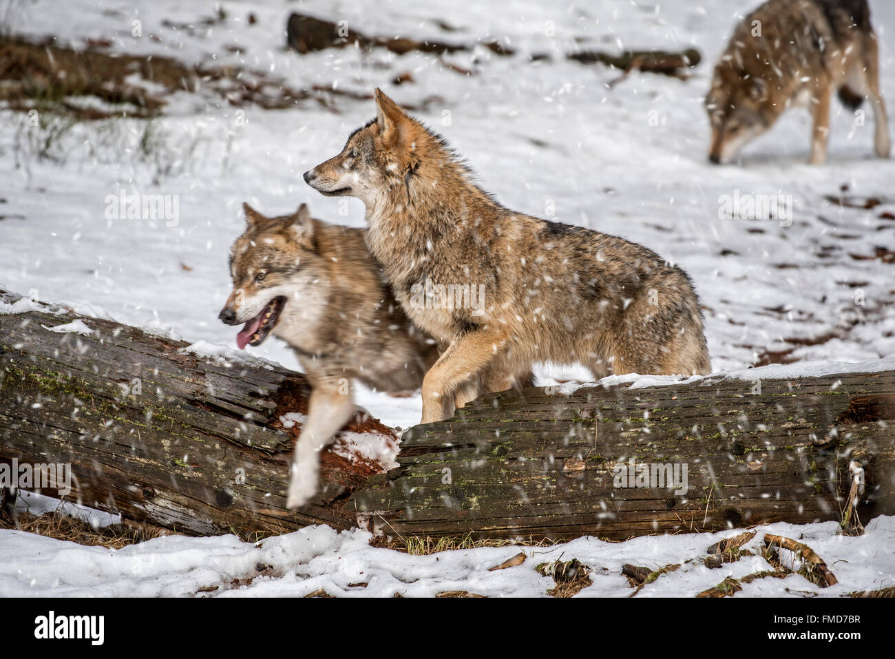 Gray wolves / grey wolf (Canis lupus) pack on the hunt stepping over fallen tree trunk during snow shower in winter - Stock Image